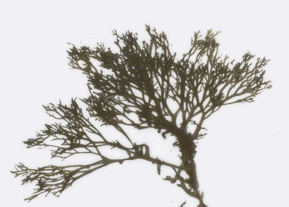 Polysiphonia nigrescens