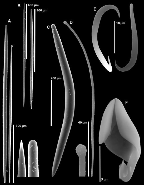 Asbestopluma monticola sp. nov. spicules
