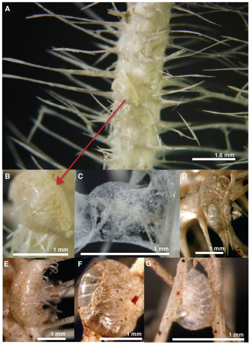 Asbestopluma monticola, Cladorhiza caillieti & Cladorhiza evae