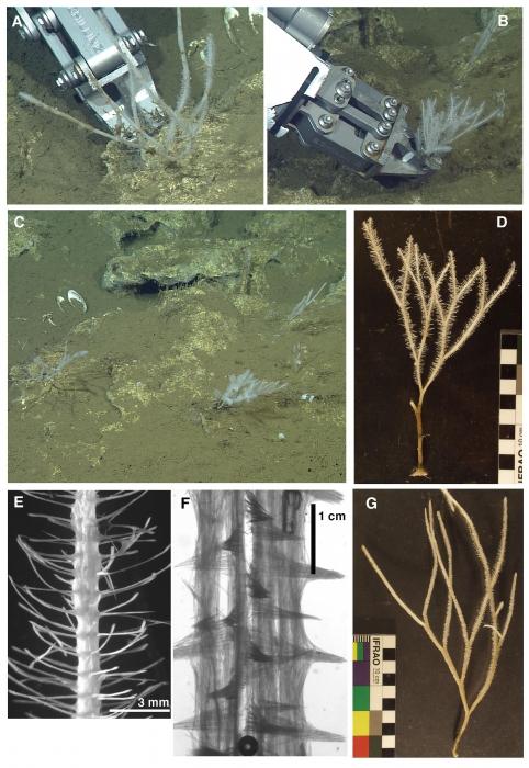 Asbestopluma rickettsi sp. nov.