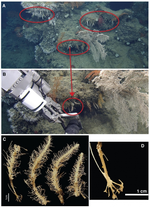Cladorhiza caillieti sp. nov.