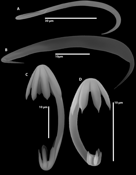Cladorhiza caillieti sp. nov. spicules
