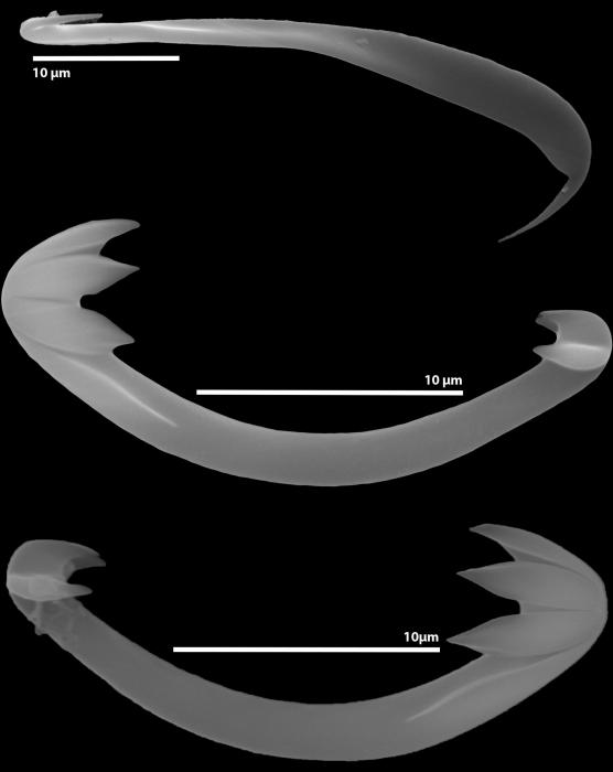 Cladorhiza evae sp. nov. spicules