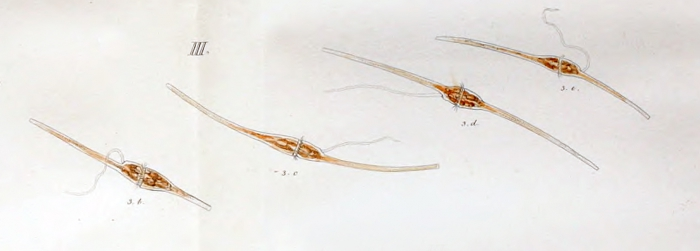 Neoceratium fusu or Ceratium fusus - first depiction