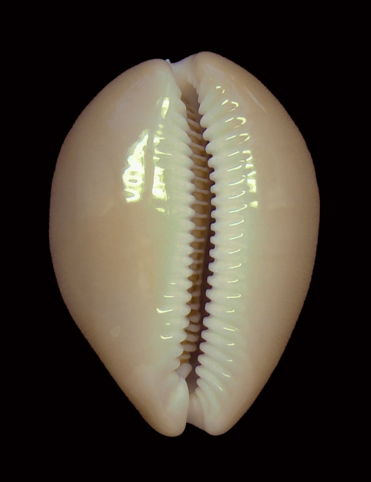 Lyncina aliceae (paratype 6_35.48mm)