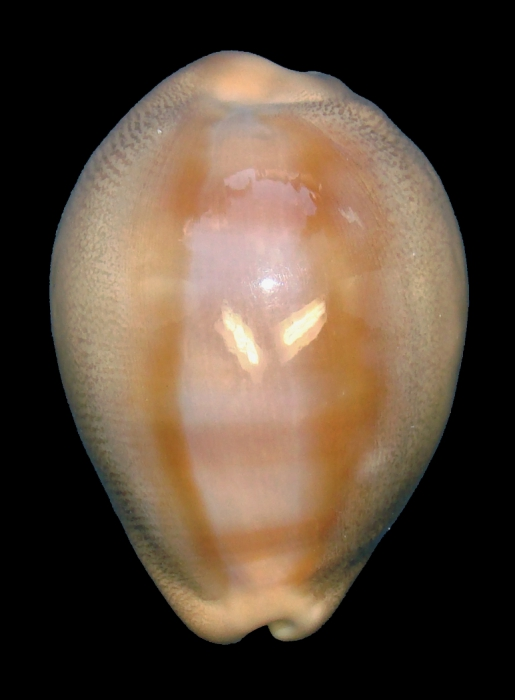 Lyncina aliceae (paratype 16_33.37mm)