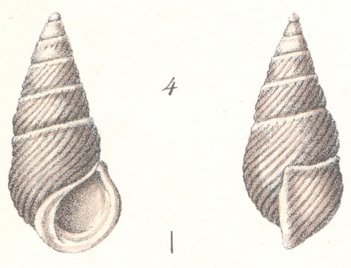 Rissoina adamsiana Weinkauff, 1881