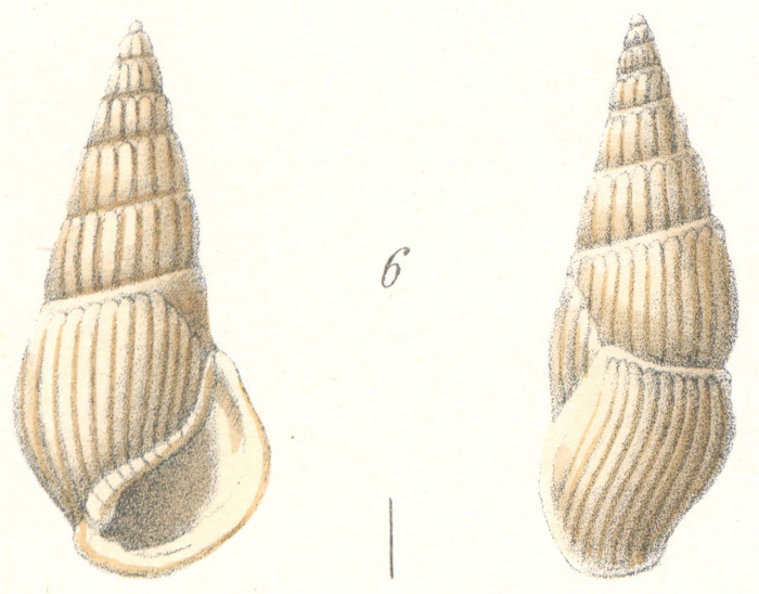 Rissoina andamanica Weinkauff, 1881