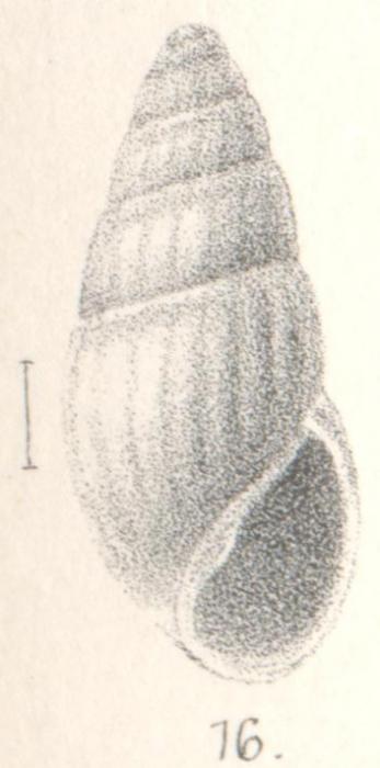 Rissoina applanata Melvill, 1893