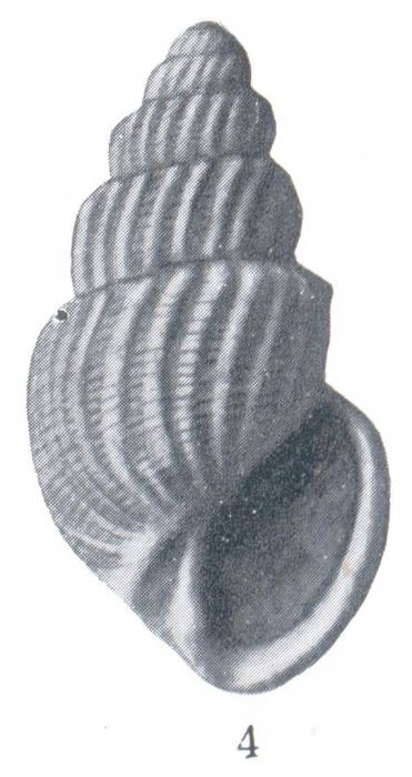 Microstelma aresca (Woodring, 1928)