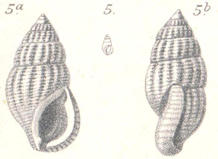 Stossichia costata Boettger, 1887