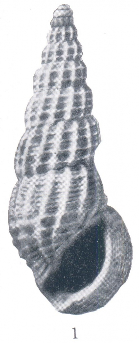 Phosinella debussa (Woodring, 1928)