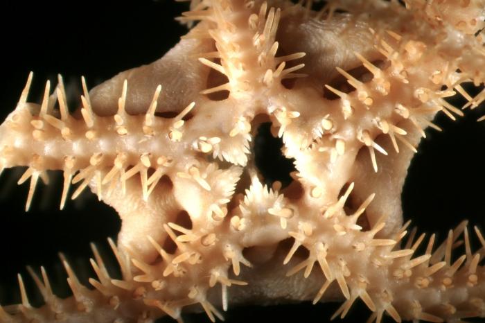 Ophioscolex tripapillatus