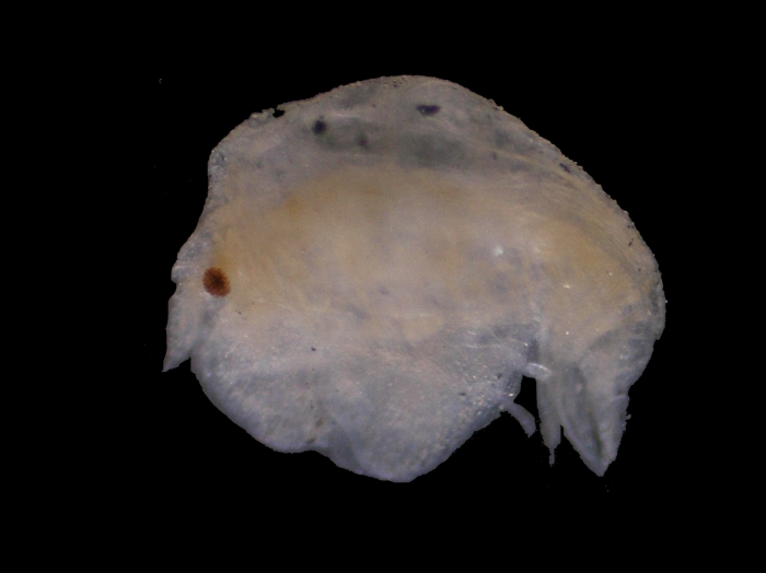 Peltocoxa gibbosa