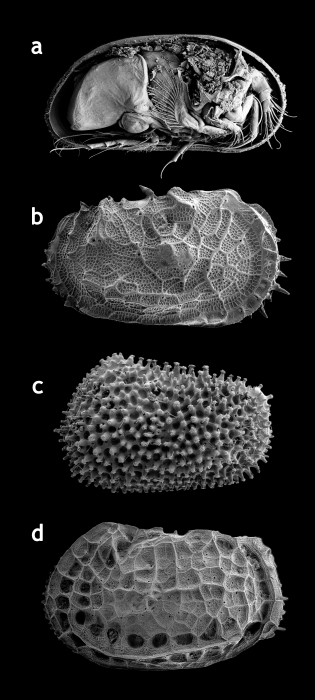 Ostracods: examples