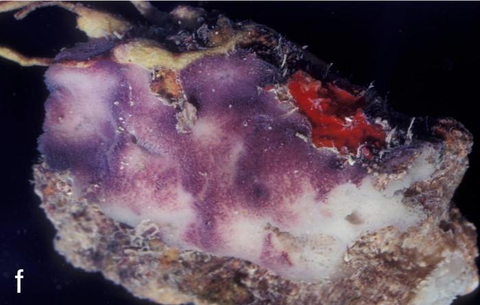 Xestospongia purpurea
