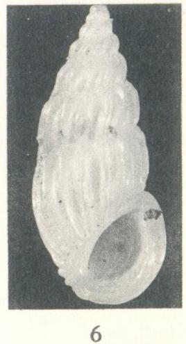 Rissoina (Schwartziella) fischeri Desjardin, 1949