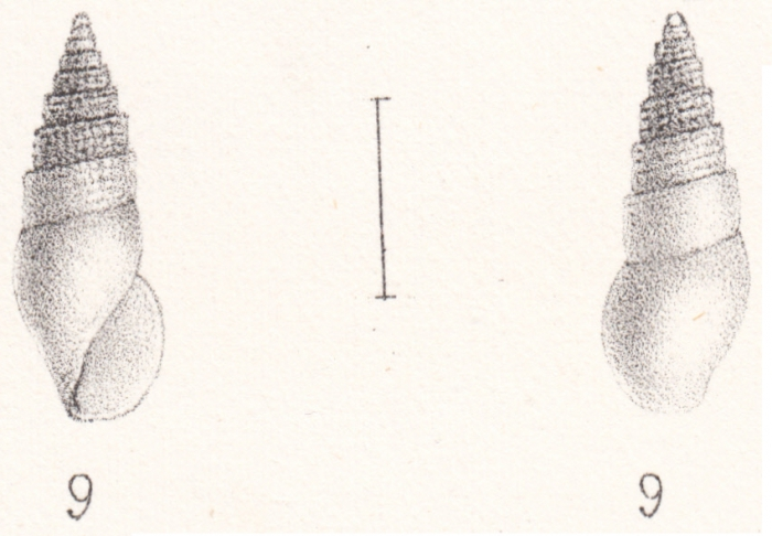 Rissoina lamberti Souverbie & Montrouzier, 1870