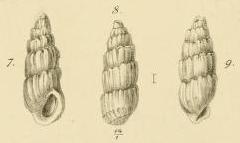 Rissoina angulata Jickeli, 1882
