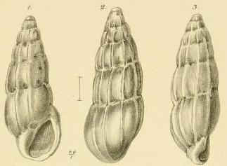 Rissoina assimilis Jickeli, 1882