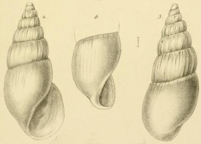 Rissoina dimidiata Jickeli, 1882