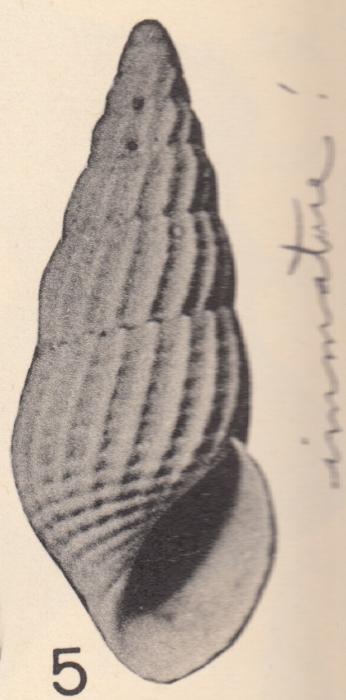Rissoina parkeri Olsson & Harbison, 1953