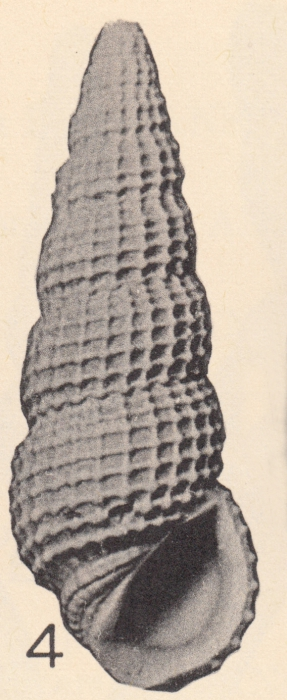 Rissoina (Phosinella) fargoi Olsson & Harbison, 1953