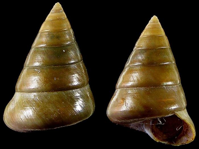 Calliostoma gualterianum