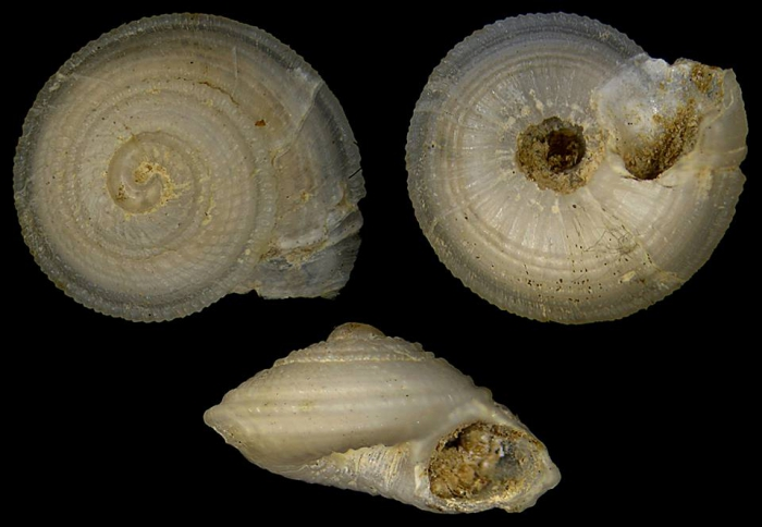 Heliacus contextus