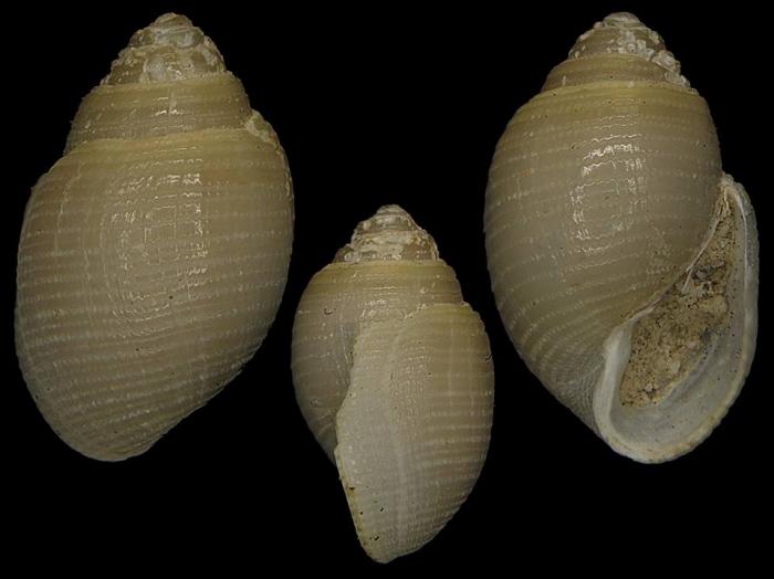 Japonacteon pusillus
