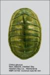 Chiton glaucus
