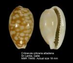 Cribrarula cribraria abaliena