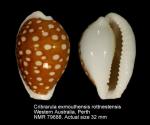 Cribrarula exmouthensis rottnestensis