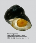 Diloma nigerrima