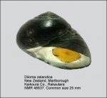 Diloma zelandica