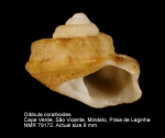 Gibbula corallioides