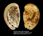 Haliotis tuberculata lamellosa