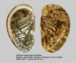 Haliotis tuberculata