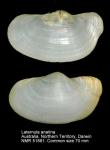 Laternula anatina