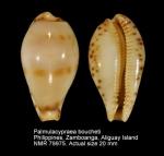 Palmulacypraea boucheti