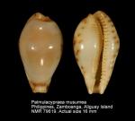 Palmulacypraea musumea