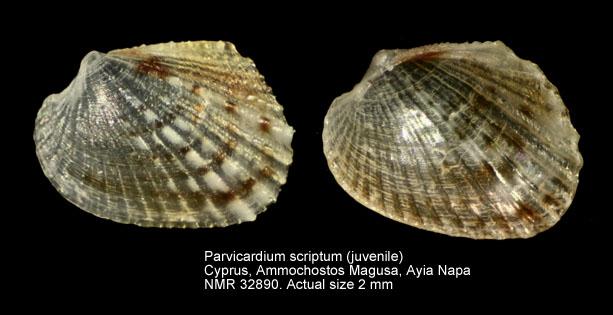 Parvicardium scriptum