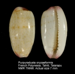 Purpuradusta oryzaeformis