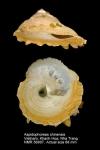 Stellaria chinensis