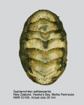 Sypharochiton pelliserpentis