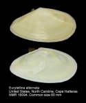 Eurytellina alternata