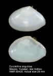 Tellina angulosa
