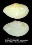Laciolina chloroleuca