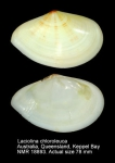 Tellina chloroleuca