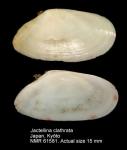 Jactellina clathrata